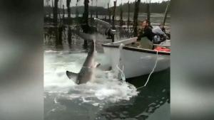 NB fishermen free great white shark
