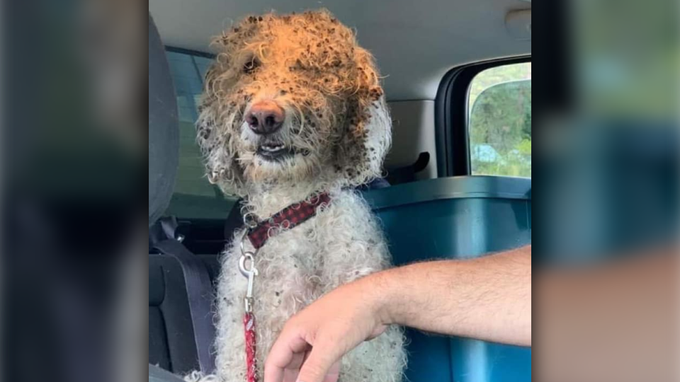Mordy the labradoodle spent nearly three weeks surviving on his own in Princeton, B.C. before finally being reunited with his family.