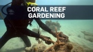 Divers helping piece Jamaica's coral reef back tog