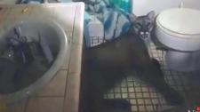 Cougar found in bathroom of California home