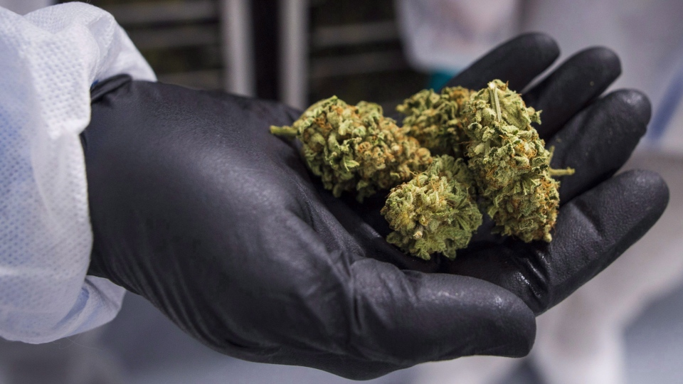 A man holds holds a handful of cannabis buds at the CannTrust Niagara Greenhouse Facility, in Fenwick, Ont., on June 26, 2018. THE CANADIAN PRESS/ Tijana Martin