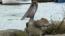 Dorian brought rare birds to Cape Breton