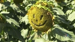 Overwhelming response to sunflower fundraiser