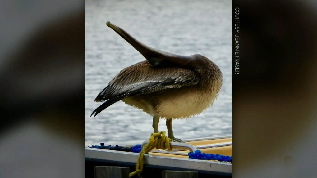 A pelican in Nova Scotia? Unusual birds blown into Cape Breton by Dorian
