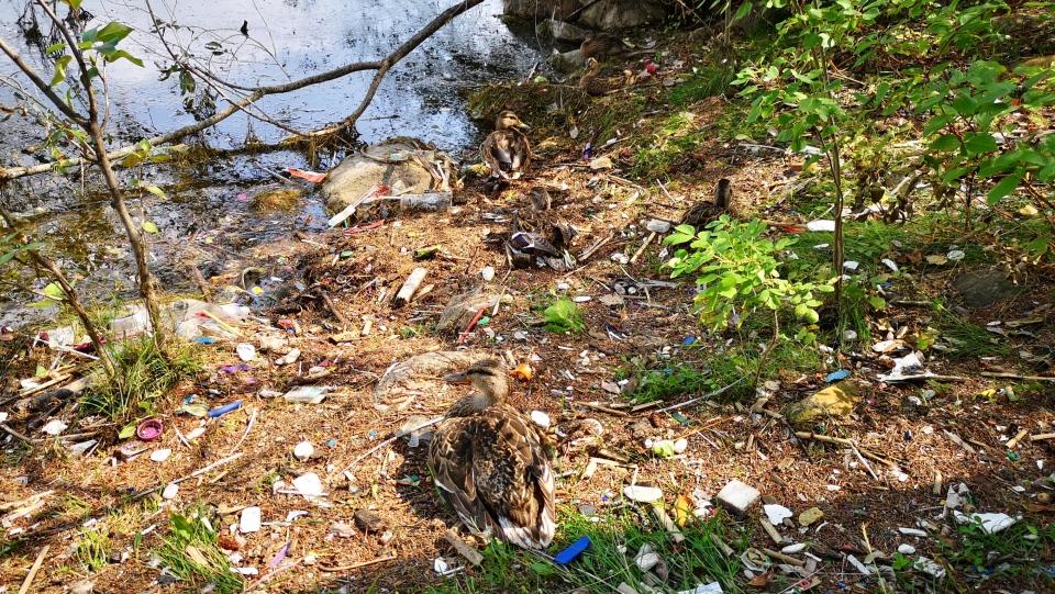Beaumaris Lake litter