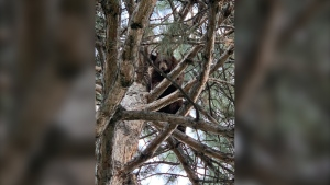 Police in Orem, Utah used sirens to force a bear out of a tree near the station. (Orem Police Department/Facebook)