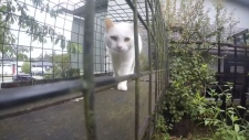 Sheila's adopted white foster cat, Annabelle, seen in just one section of her elaborate outdoor cat walk enclosure: Sept. 16, 2019 (CTV News)