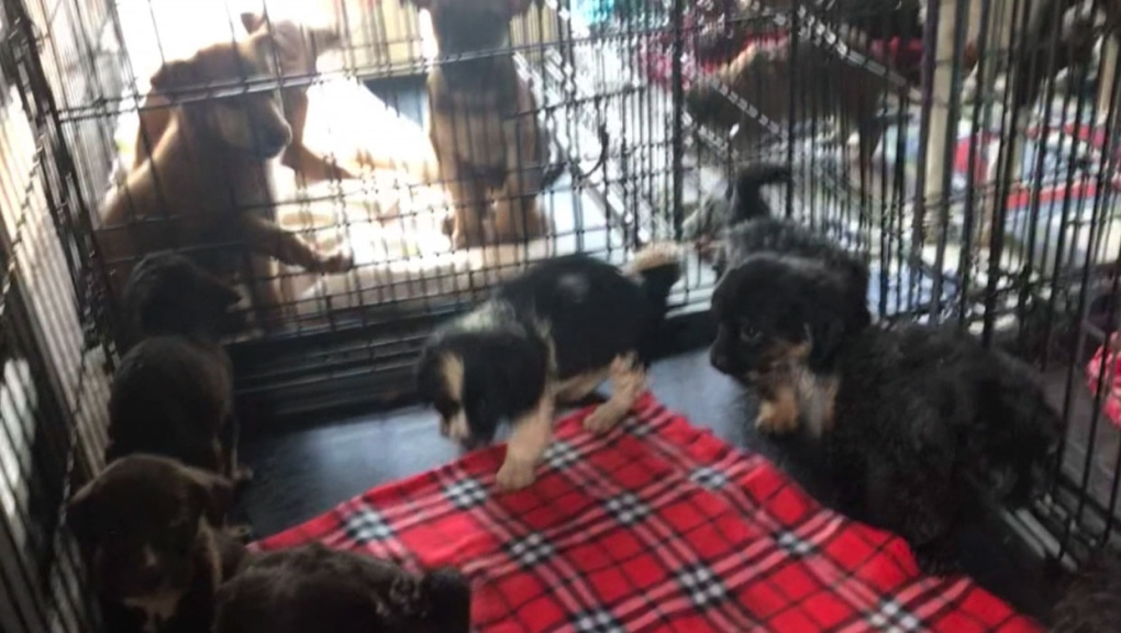 Dozens of dogs rescued from Manitoba dump arrive in Calgary
