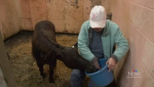 Dogs attack therapeutic mini horse in Nanaimo