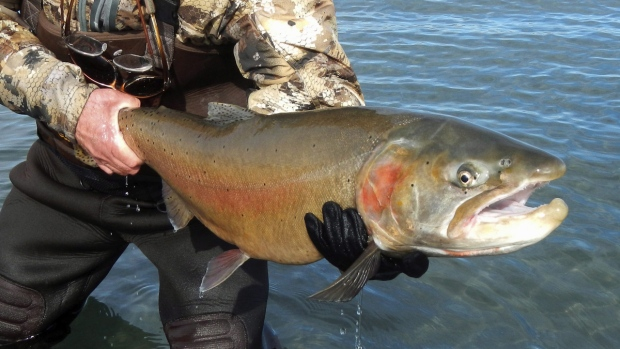 A Lahontan cutthroat trout