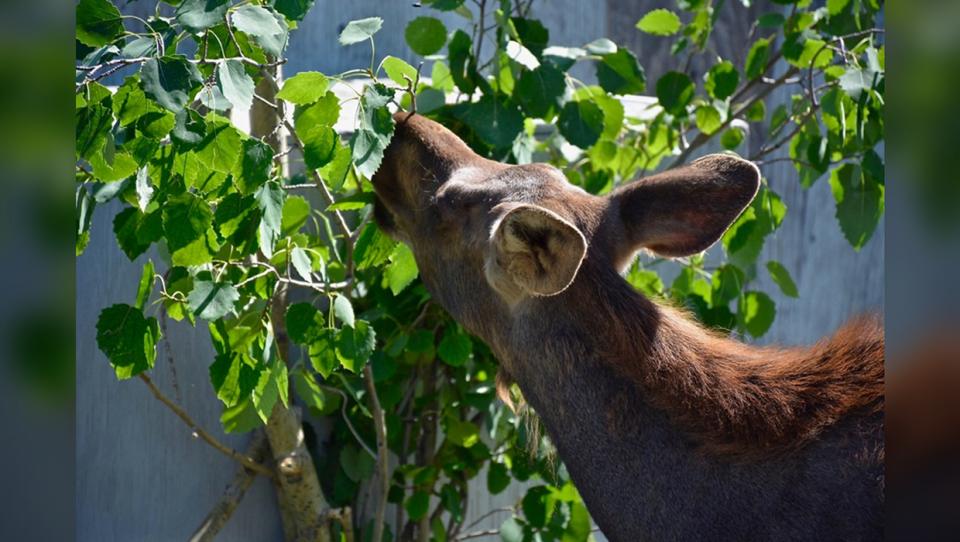 Moose calves, Alberta Institute for Wildlife Conse