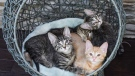 """Grandpa Mason"" cuddling with a litter of foster kittens in this photo provided by Tiny Kittens."