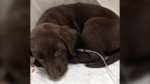 An image of the 16-week-old chocolate lab: (Photo courtesy of the Victoria Humane Society)