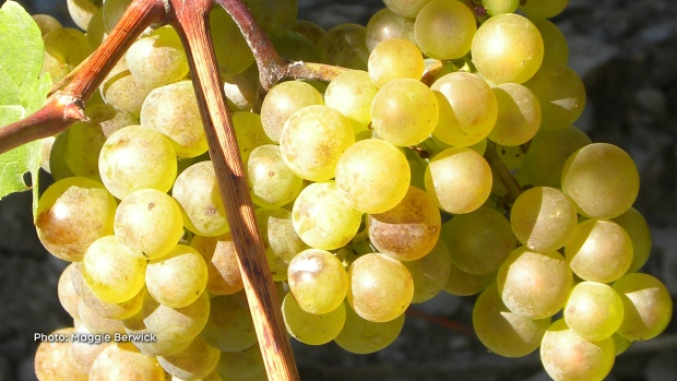 Beautiful bunches of Wine Grapes! (Maggie Berwick/CTV Viewer)