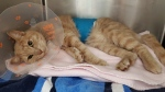 Cedar is a two-year-old orange tabby, who will need surgery to remove a broken femoral head. (BC SPCA)