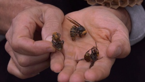 Asian giant hornets discovered in Nanaimo: Sept. 19, 2019 (John Holubeshen/Facebook)