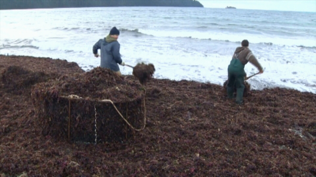 Vancouver Island companies launch new Sugar Kelp harvesting business
