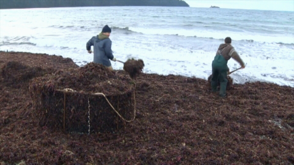 Seaweed is collected near Bamfield: Sept. 19, 2019 (CTV News)