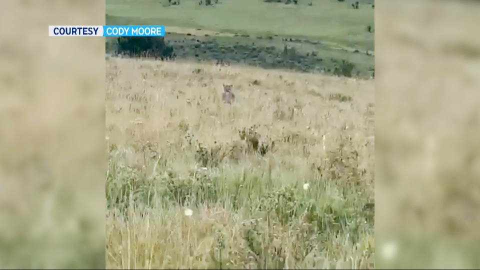 Cody Moore filmed his encounter with a group of cougars near Longview on Aug. 31. One of the cats can be seen in the grass. (Cody Moore)