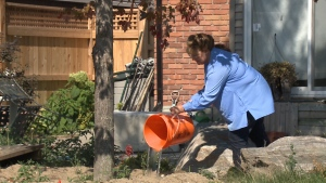 Linda Willman waters her maple tree.