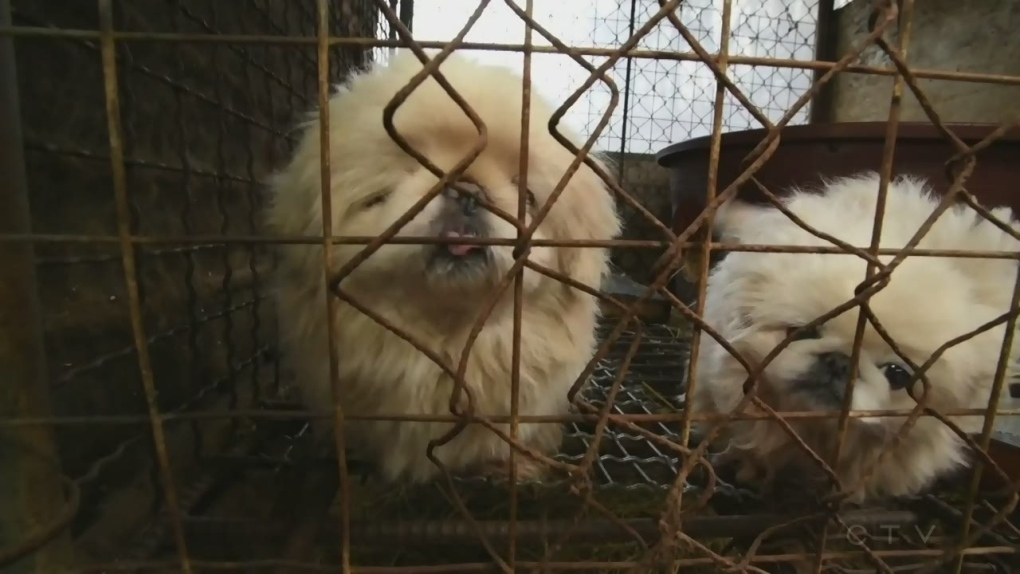 The animals rescued from a Korean dog meat farm are coming to Montreal for adoption