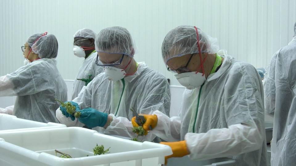 Students taking a cannabis trimming and production course at NorQuest College will spend three days training at Freedom Cannabis in Acheson.