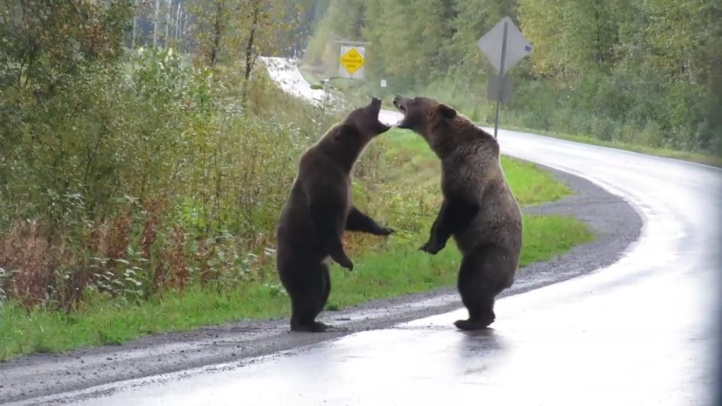 Caught on camera: Grizzly bears fight in northern B.C.