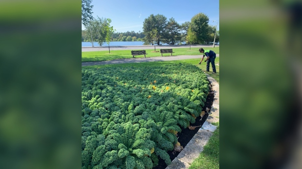 'Ornamental' vegetables planted by Crown corporation were once donated to food bank