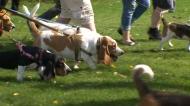 Cuteness overload: Manitoba Basset Hound walk