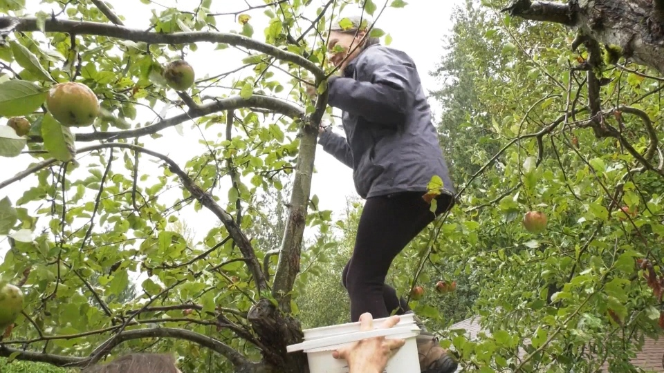Volunteers picked apples in the rain to be donated to Critter Care Wildlife Society.