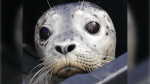 A harbour seal nicknamed Bradley Grouper is shown in a photo from the Vancouver Aquarium's Marine Mammal Rescue Centre. (Instagram)