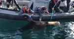 Crews work to remove the plastic from around the Stellar sea lion's neck. (Vancouver Aquarium Marine Mammal Rescue)