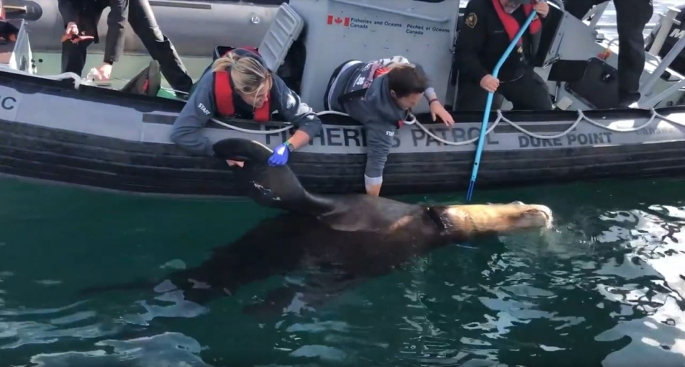 Crews work to remove the plastic from around the Stellar sea lion's neck. (Vancouver Aquarium Marine Mammal Rescue)