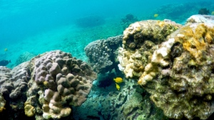 This Sept. 12, 2019 photo shows bleaching coral in Kahala'u Bay in Kailua-Kona, Hawaii. (AP Photo/Caleb Jones)