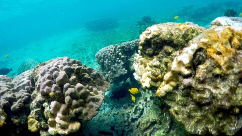 This Sept. 12, 2019 photo shows bleaching coral in Kahala'u Bay in Kailua-Kona, Hawaii. (AP Photo/Caleb Jones)
