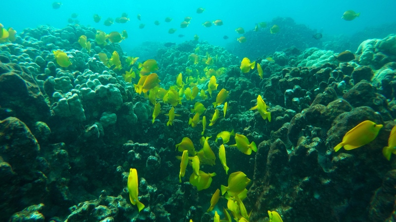 This Sept. 12, 2019 photo shows fish near coral in a bay on the west coast of the Big Island near Captain Cook, Hawaii. (AP Photo/Brian Skoloff)