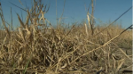 Leduc considering declaring agricultural disaster