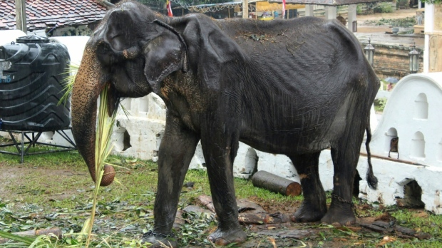 Skeletal elephant dies in Sri Lanka weeks after parade outcry