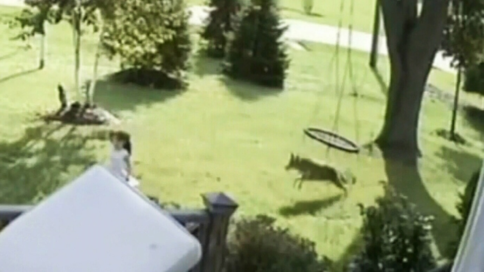 Coyote chases 5-year-old girl in Illinois