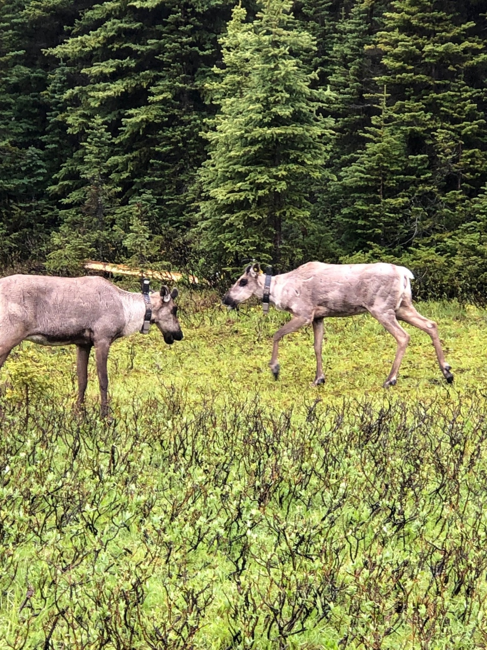 Two caribou can be seen at a sanctuary in the South Peace River region of B.C designed to protect the animals from predators.