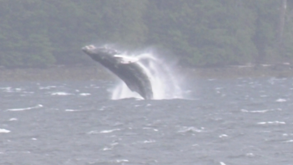 Family of humpback whales seen frequenting Vancouver Island waters