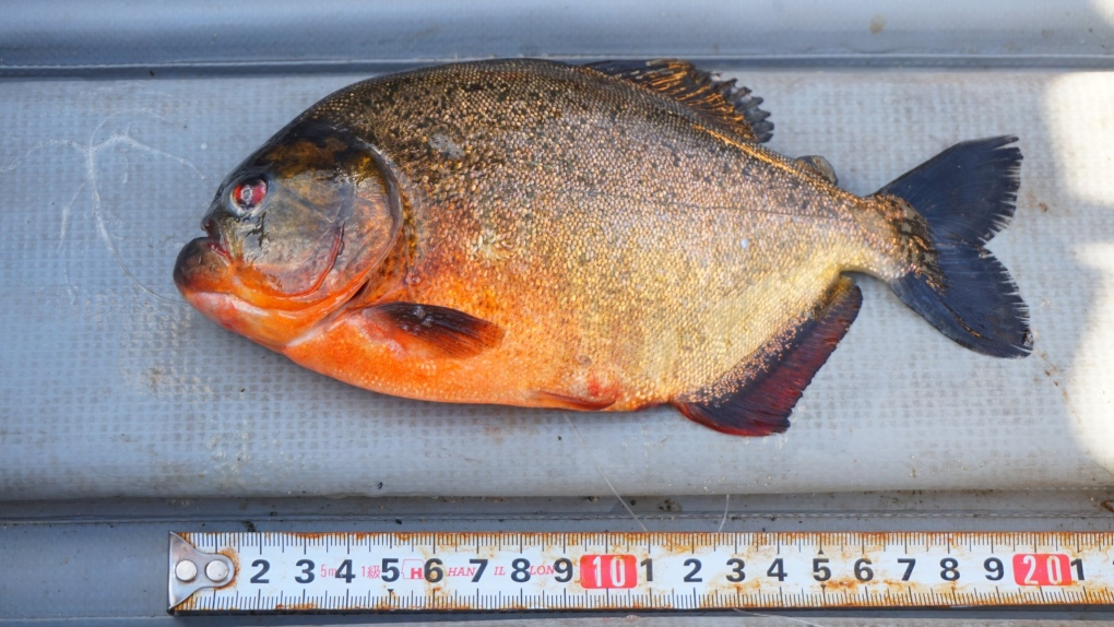 Red-bellied piranha discovered in Nanaimo lake