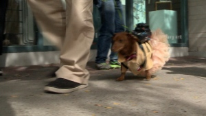 The dachshunds in the streets of Ottawa