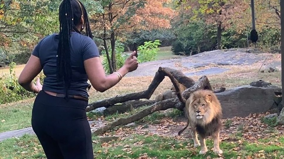 The Bronx Zoo says the woman who trespassed inside its lion enclosure on Saturday put herself in serious danger. (@realsobrino/Instagram/CNN)