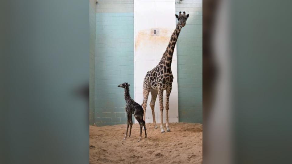 A giraffe calf born last week at the Calgary Zoo has died.