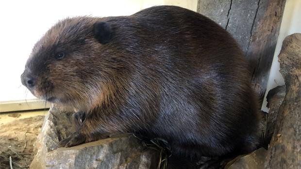 Justin Beaver at the Brockville Aquatarium