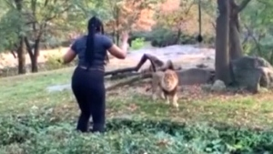 Woman enters enclosure taunts king of the jungle