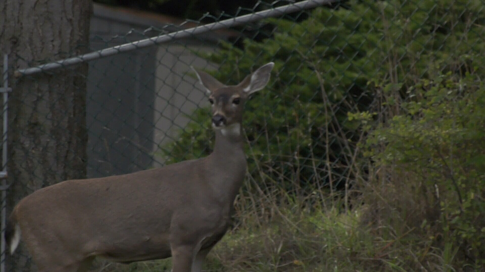 A deer spotted next to the crash scene Wednesday. (CTV Vancouver Island)