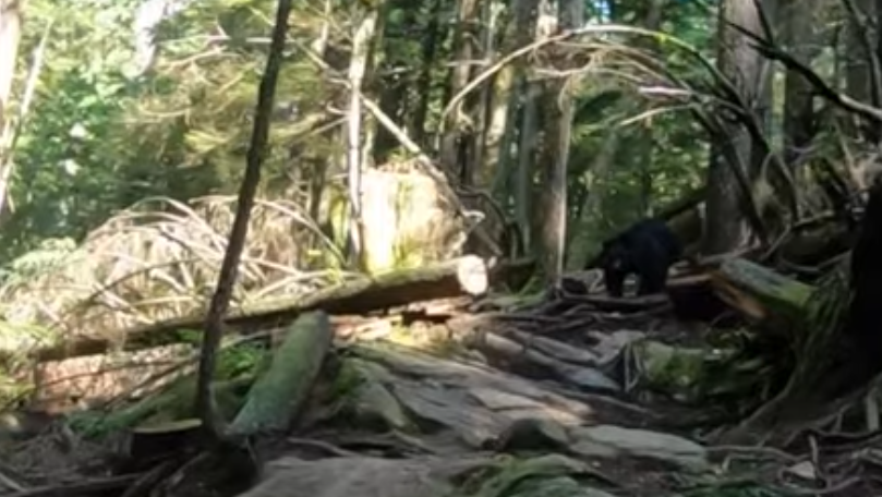 This black bear followed mountain biker Brad Martyn and friends for more than a kilometre. Photo: Youtube/Single Track Rider