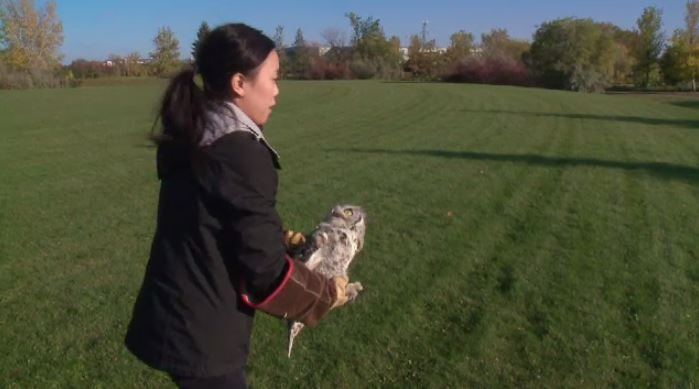 Newman the Great Horned Owl released back into the wild